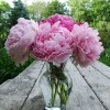 Pink Peonies – Summer Special Offer